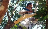 Người dân huyện Tiên phước thu hoạch quế