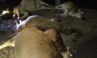 Sét đánh chết 5 con bò khiến người dân điêu đứng