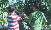 Trộm 'đột nhập' vào vườn, hái trộm hơn nửa tấn xoài của nông dân