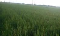 Phát hiện hai anh em bé trai chết bất thường dưới ruộng lúa