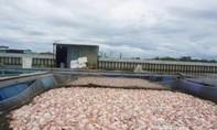 Đà Nẵng: 60 tấn cá chết hàng loạt trên sông Cổ Cò