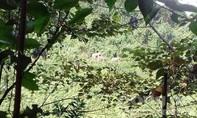 Lại xuất hiện đàn voi rừng ở Quảng Nam