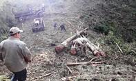 Kon Tum: Băm nát rừng thông 20 năm tuổi để trồng mắc ca