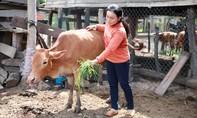 Hàng trăm gia súc bị lở mồm long móng