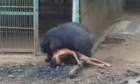 Một người đàn ông nguy kịch vì bị gấu dữ tấn công