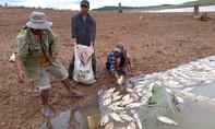 Đề nghị công ty thủy điện hỗ trợ trong vụ cá chết trắng lồng