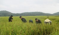Tăng cường 200 bộ đội giúp dân gặt lúa chạy bão lũ