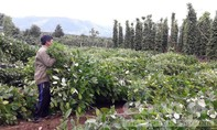Người trồng tiêu điêu đứng do ảnh hưởng bão số 10