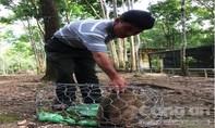 Bắt được loài khỉ đuôi lợn quý hiếm giữa thành phố