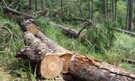 Dư luận xôn xao trước dự án khai thác gần 750ha rừng thông 3 lá ở Lâm Đồng