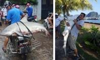 Thực hư cá mập xuất hiện tại vịnh Hạ Long