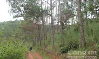 Hàng trăm cây thông 20 năm tuổi bị 'đầu độc'