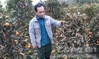 Vườn quất cảnh hàng trăm triệu đồng bị phá hoại