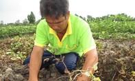 Kẻ xấu phun thuốc diệt cỏ vào ruộng khoai lang, nông dân điêu đứng
