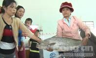 Ngư dân bắt được cá nghi là cá sủ vàng dài gần 1 mét