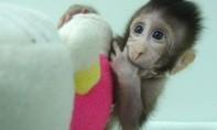 Trung Quốc nhân bản vô tính được khỉ, nhân bản người chỉ còn là thời gian