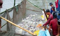 Kỳ 3: Gỡ nút thắt cho cá tra Việt Nam