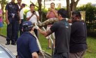 Con trăn dài 2,5m chén xong con mèo, 'nằm nghỉ' trong ống cống