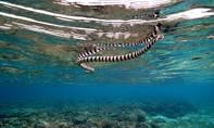 Nam thanh niên thiệt mạng do bị rắn biển cắn