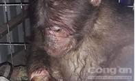 Giải cứu khỉ con bị hoại tử tay do dính bẫy, được đem đi bán