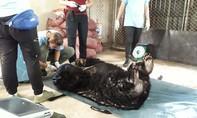 Giải cứu một con gấu lớn bị nuôi nhốt