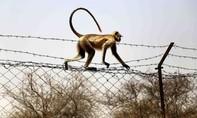 Khỉ 'bắt cóc' và giết chết em bé 12 ngày tuổi ở Ấn Độ