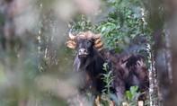 Đồng Nai: Truy tìm ô tô tông bò tót 700kg tử vong