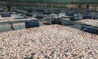 Cá nuôi lồng bè chết hàng loạt, dân trắng tay sau một đêm