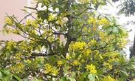 Thời tiết bất thường, nhiều cây mai đón Tết sớm