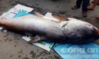 Bắt được cá tra dầu nặng 216 kg