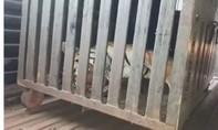 Ấn Độ tiêu diệt con hổ 'tử thần' ăn thịt ít nhất 13 người
