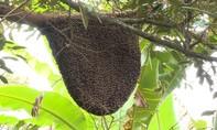 """Tổ ong rừng """"khủng"""" gần 1m² trong vườn dừa dứa"""