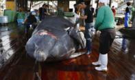 Bất chấp phản đối, Nhật rút khỏi Uỷ ban cá voi quốc tế