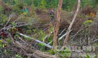 """Khởi tố vụ """"phá rừng phòng hộ để trồng rừng"""""""