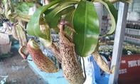 Độc đáo cây nắp ấm vừa làm kiểng vừa để bắt côn trùng