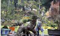 Chiêm ngưỡng những cây mai tiền tỷ ở hội hoa xuân lớn nhất Sài Gòn