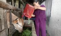 Đậu cô ve 1.000 đồng/kg, dưa leo 500 đồng/kg, người dân hái cho bò ăn