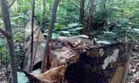 Vô tư phá rừng phòng hộ Sơn Động  vì có 'xi nhan'?