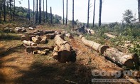 """Chủ tịch xã nhận tiền để """"lâm tặc"""" tàn phá rừng thông"""