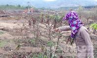 Vụ cà phê chết hàng loạt nghi do mỏ đá: Tỉnh Gia Lai ra công văn hỏa tốc