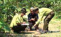Nghi báo hoa mai xuất hiện ở Quảng Trị, bắt dê của dân