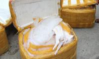 CSGT bắt xe khách chở gần nửa tấn heo sữa bốc mùi