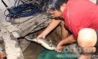 'Vua' săn cá ngát trên sông Hàm Luông