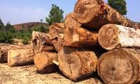 Công ty lâm nghiệp tự ý kéo 85m3 gỗ khỏi rừng bị đề nghị điều tra