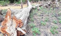 Cánh rừng ở Kon Tum bị phá trắng