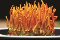 Tăng cường và nâng cao sức khỏe từ đông trùng hạ thảo