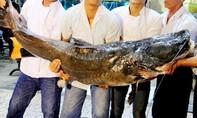 Bắt được cá lăng dài hơn 2,2m, nặng 110kg