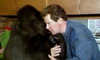 """Con khỉ đột biết """"hơn 1.000 từ ngôn ngữ"""" qua đời ở tuổi 46"""