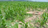 Đôi nam nữ chết trong ruộng ngô sau tiếng kêu cứu
