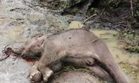 Phát hiện voi rừng chết trong Vườn Quốc gia Yók Đôn